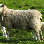 reine Schafschurwolle